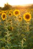 солнцецветы Тоскана Стоковое Фото
