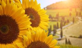 Солнцецветы Тосканы стоковая фотография rf
