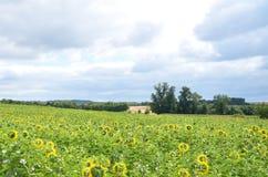 Солнцецветы луга зрея Стоковые Изображения RF