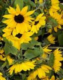 Солнцецветы Стоковое Изображение