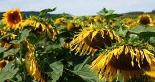 солнцецветы 1 Стоковая Фотография RF