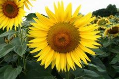 Солнцецветы 4 Стоковые Фотографии RF