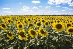 Солнцецветы 4 Стоковая Фотография
