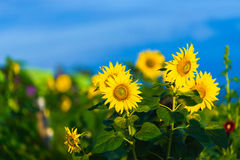 Солнцецветы Стоковые Фото