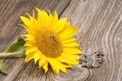 Солнцецветы Стоковые Фотографии RF