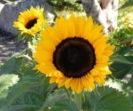 солнцецветы 2 Стоковое фото RF