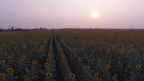 Солнцецветы сток-видео