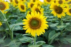 Солнцецветы стоковые изображения