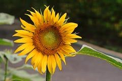 Солнцецветы; Annuus подсолнечника Стоковая Фотография RF