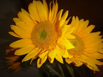 Солнцецветы UpClose и черная предпосылка стоковая фотография