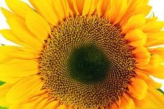 Солнцецвет белизна изолированная предпосылкой Стоковое фото RF