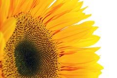 Солнцецвет белизна изолированная предпосылкой Стоковое Изображение RF
