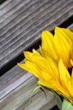 Солнцецвет близкий вверх на деревянной предпосылке Стоковое Фото