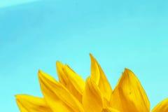 Солнцецвет близкий вверх на свете - голубой предпосылке стоковая фотография