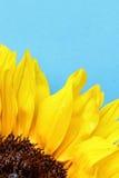Солнцецвет близкий вверх на свете - голубой предпосылке Стоковые Изображения RF