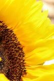 Солнцецвет близкий вверх на светлой предпосылке Стоковые Фотографии RF