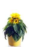 Солнцецвет в баке Стоковая Фотография
