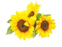 Солнцецвет в белой предпосылке Стоковая Фотография