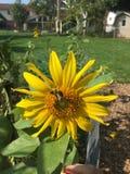 Солнцецвет в лете стоковое фото rf