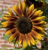 Солнцецвет в огороженном саде Стоковая Фотография