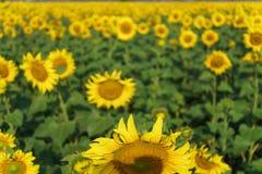 Солнцецвет в открытом поле, красивый солнечный день Стоковое Изображение