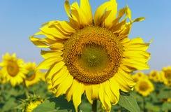 Солнцецвет в открытом поле, красивый солнечный день Стоковые Фотографии RF