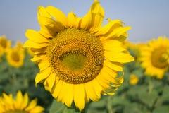 Солнцецвет в открытом поле, красивый солнечный день Стоковое фото RF