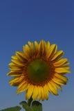 Солнцецвет в открытом поле, красивый солнечный день Стоковые Изображения RF