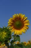 Солнцецвет в открытом поле, красивый солнечный день Стоковые Изображения