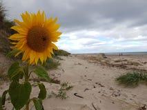 Солнцецвет в песке Стоковая Фотография