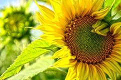 Солнцецвет в поле Стоковые Фотографии RF