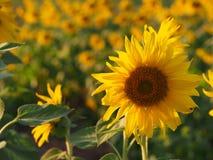 Солнцецвет в поле Стоковое Изображение