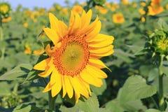 Солнцецвет в поле Стоковое фото RF