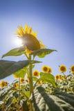 Солнцецвет в Провансали Стоковые Изображения