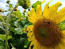 Солнцецвет в саде rama9 Стоковое Изображение