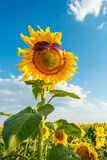 Солнцецвет в солнечных очках Стоковое Изображение RF
