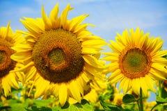 Солнцецвет в южной Франции Стоковые Фотографии RF