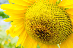 солнцецвет горизонтальной съемки сжатия поля малый Стоковое Изображение