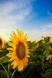 солнцецвет голубого неба Стоковые Фотографии RF