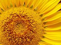 Солнцецвет гружёный с цветнем стоковые изображения rf