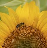 солнцецвет лета природы пчелы стоковая фотография