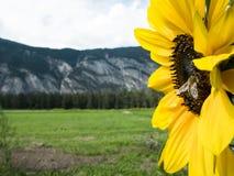 солнцецвет лета природы пчелы Стоковое фото RF