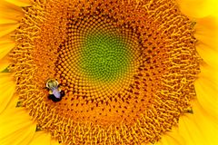 солнцецвет лета природы пчелы Стоковые Фото