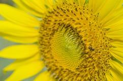 солнцецвет лета природы пчелы Стоковое Изображение RF
