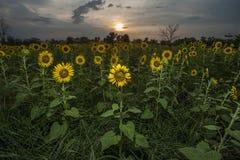 Солнцецвет зернокомбайна Стоковые Изображения