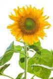 Солнцецвет изолированный на белизне Стоковое Изображение