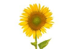 Солнцецвет изолированный на белой предпосылке flower3 Стоковые Изображения RF