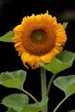 Солнцецвет изолированный на черной предпосылке Стоковые Изображения