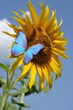 Солнцецвет и бабочка Стоковая Фотография RF