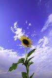 Солнцецвет и голубое небо Стоковая Фотография